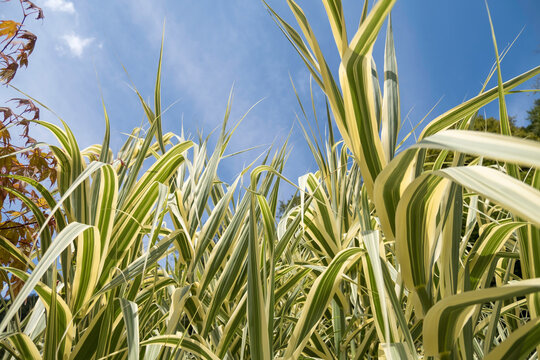Beautiful bicolor green white sedge grass plants against blue sky close up upwards