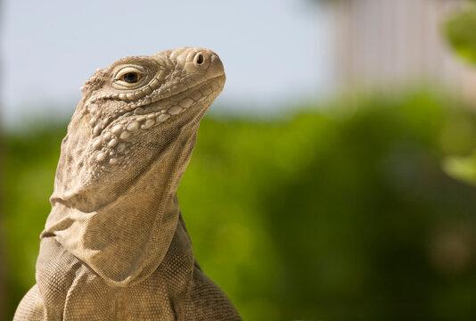 Lesser Caymans Iguana, Little Cayman Island, Cayman Islands, Caribbean