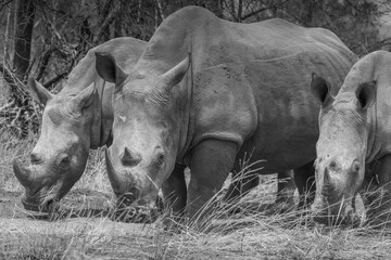 Three white rhino grazing long grass, south Africa - facing camera