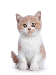 Wall Mural - Cute creme with white bicolor British Shorthair cat kitten, sitting facing front. Looking towards camera with mesmerizing green / orange eyes. Isolated on a white background.