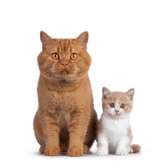Wall Mural - Cute creme with white bicolor British Shorthair cat kitten, sitting facing front beside adult red male BSH. Looking towards camera with mesmerizing green / orange eyes. Isolated on a white background.