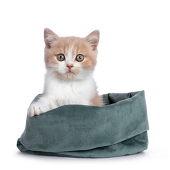 Wall Mural - Cute creme with white bicolor British Shorthair cat kitten, sitting in green velvet bag. Looking towards camera with mesmerizing green / orange eyes. Isolated on a white background.