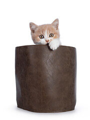 Wall Mural - Cute creme with white bicolor British Shorthair cat kitten, sitting in brown leather bag biting the edge. Looking towards camera with mesmerizing green / orange eyes. Isolated on a white background.