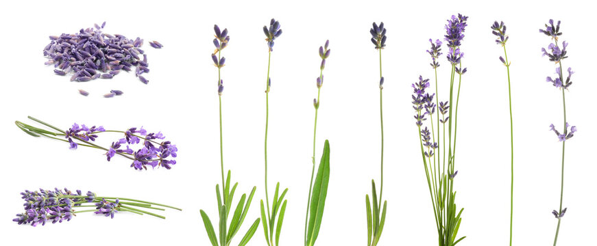 Set of lavender flowers on white background. Banner design