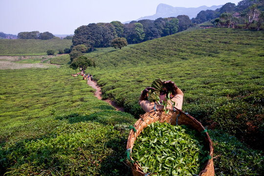 Overview of a tea plantation in Malawi