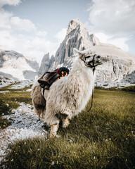 Weisses Lama vor wunderbarem Berpanorama.