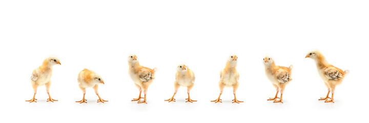 Isolated Little Rhode Island Red baby chicken team stand in a row on solid white clear background in studio light.