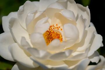 Weiße Rose Blüte Blütenblätter Rein unbefleckt Hochzeit Liebe Trauer Abschied Beerdigung Grab traurig Sonne Licht SInnbild Friedhof Braut Paar Schönheit Treue Licht aufblühen Staubgefäße orange Fokus