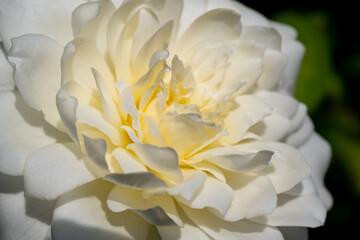 Weiße Rose Blüte Blütenblätter Rein unbefleckt Hochzeit Liebe Trauer Abschied Beerdigung Grab traurig Sonne Licht SInnbild Friedhof Braut Paar Schönheit Treue Licht aufblühen Partner Paar Geliebte
