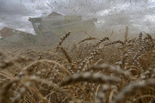 Wheat harvest in Russia's Omsk region