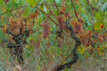White grapes on vineyard, Zakynthos island, Greece