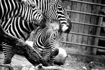 baby zebra with parents