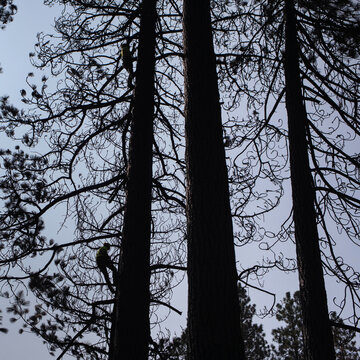 Men climb burnt trees, in the aftermath of the Two Four Two Fire, to tie rope and cut them down away from Crater Lake Highway in Chiloquin