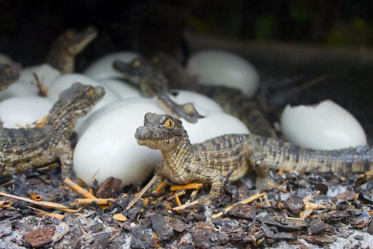 Little crocodiles or alligators hatch from eggs.Little lizards, welcome to the world.