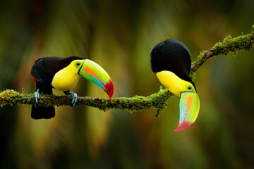 Wall Mural - Keel-billed Toucan, Ramphastos sulfuratus, birds with big bill sitting on branch in the forest, Costa Rica. Nature travel in central America. Beautiful bird love in nature habitat.