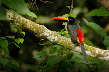 Wall Mural - Fiery-billed Aracari, Pteroglossus frantzii, bird with big bill. Toucan sitting on the branch in the forest, Costa Rica. Birdwatching travel in central America.