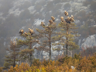 Griffon vultures resting in tree