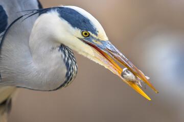 Portrait of Grey heron catching fish