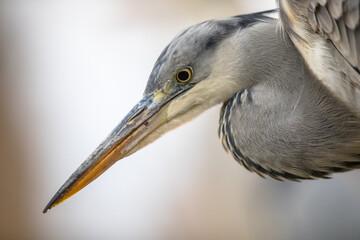 Portrait of Grey heron hunting