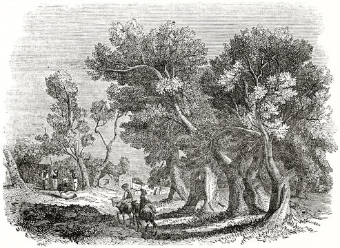 Two big intertwined olive tree and two donkeyback farmer outdoor during olive harvesting. Ancient engraving grey tone art by unidentified author, The Penny Magazine, London 1837