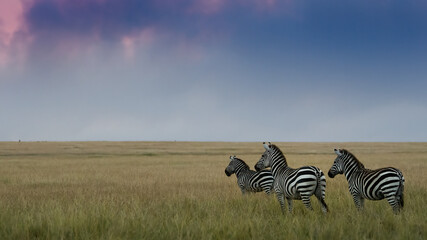 zebras in sunset in Masai mara Kenya