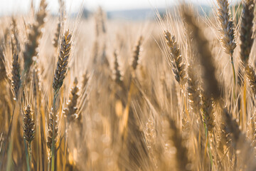 Fototapeta Photo of a wheat field at sunset. selective focus. separate spikelets of wheat. Agriculture, agronomy, concept