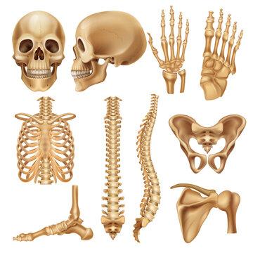 Human bones. Realistic skeleton elements for anatomy illustration and medical infographic, human skull spine ribs pelvis and joints. Vector set illustration 3d model skeletal parts