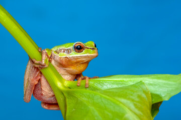 Beautiful Europaean Tree frog Hyla arborea
