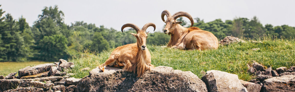 Group of barbary sheep wild goats antelope lying resting on rocks on summer day. Herd of wild Texas aoudad goats with large curvy horns outdoors in savanna park. Web banner header.