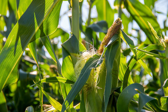 Corn stalks in a a corn field in the summer