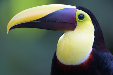 Yellow-throated toucan head portrait