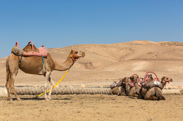 Domesticated camels in the desert are waiting for tourists on a hot sunny day
