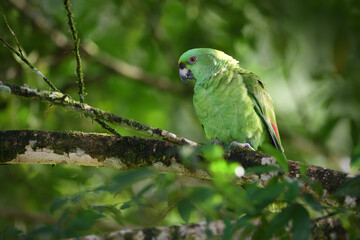 Yellow-naped amazon parrot perched on tree