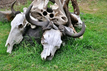 Czaszki bawołów i antylop. Jezioro Naivisha (Kenia)