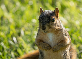 eastern fox squirrel is seraching for food before the Michigan winter