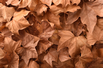 Brown detailed autumnal background with dried platanus leaves