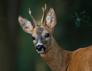 Photo sur Plexiglas Roe Roe Buck portrait