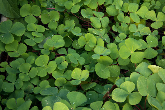 Natural texture and pattern. Closeup view of Trifolium repens, also known as White Clover, beautiful green leaves growing in the garden.