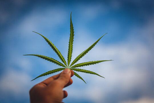 cannabis leaf in hand