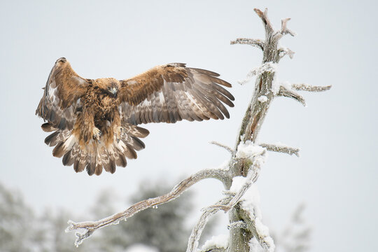 Golden eagle (Aquila chrysaetos) landing on a dry tree branch wings wide open