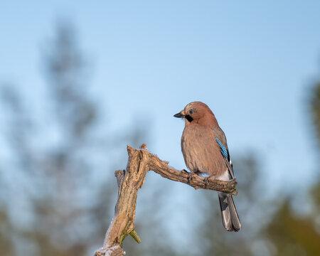 Eurasian Jay (Garrulus glandarius) perched on a dry tree branch