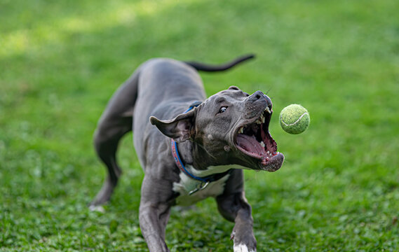 pitbull puppy has fun playing fetch with a tennis ball
