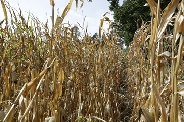 Dürre trockenes Maisfeld trockener Mais Hitze Sommer Ernte Landwirtschaft Klimawandel