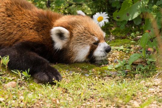 居眠りするレッサーパンダ