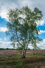 Blooming purple heather landscape in Germany