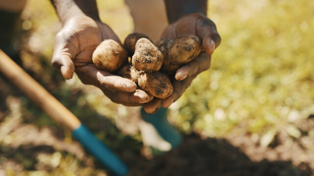 Hands of african man removing fresh potatoes from the soil. High quality photo