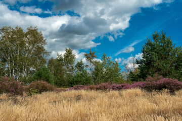 Blooming purple heather landscape in Germany on former military training area Jueterbog in Germany