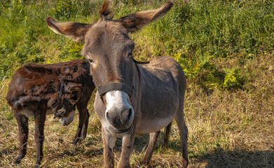 Close-up, portrait, of the tilted head of a donkey with the heads open in a brown cross with the white snout that looks us directly in the eyes, as if it were smiling at us.