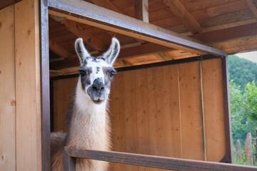 portrait of a white llama