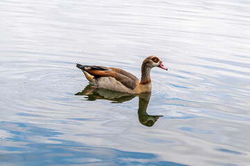 Egyptian goose, alopochen aegyptiaca, swimming on a lake with reflection